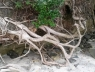 Intricate root system